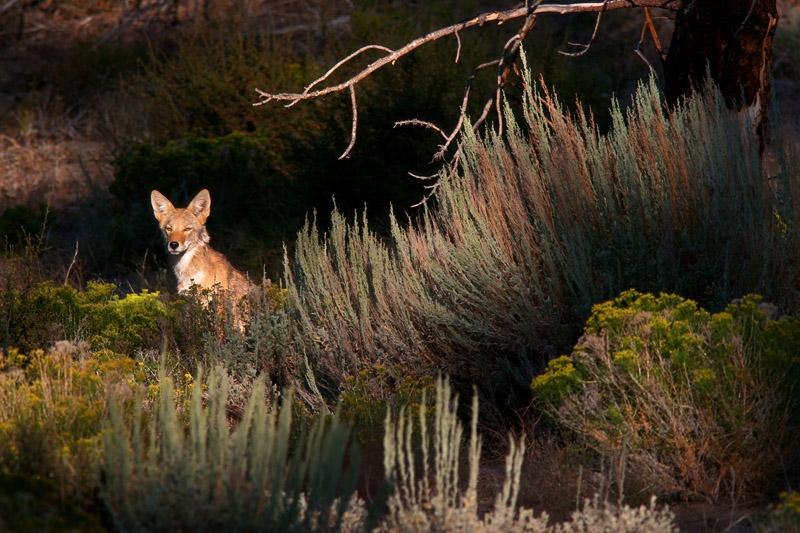 le coyote, enfin observé après des nuits de hurlements